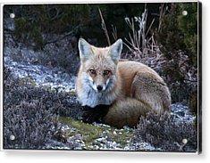 Red Fox Acrylic Print by Angele Marzi