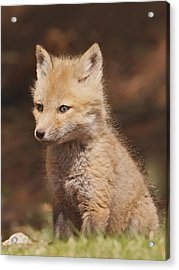 Red Fox Kitt Acrylic Print
