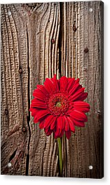 Red Gerbera Daisy With Wooden Wall Acrylic Print by Garry Gay