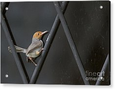 Acrylic Print featuring the photograph Red Headed Tailorbird. by Gary Bridger