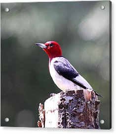 Red-headed Woodpecker - Statue Acrylic Print