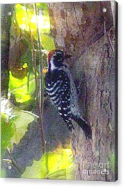 Red Headed Woodpecker Acrylic Print by Bonnie Muir