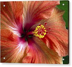 Red Hibiscus Acrylic Print by Catherine Booth-Smith