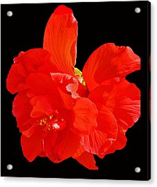 Acrylic Print featuring the photograph Red Hibiscus by Cindy Manero
