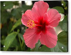 Red Hibiscus Acrylic Print by Jerry McElroy