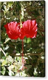 Red Hibiscus Acrylic Print by Natalija Wortman