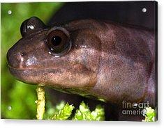 Red Hills Salamander Acrylic Print by Dant� Fenolio
