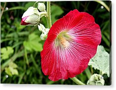 Red Hollyhock Acrylic Print by Lisa Phillips