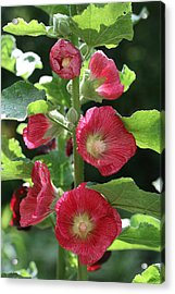 Acrylic Print featuring the photograph Red Hollyhocks by Peg Toliver