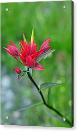 Red Indian Paintbrush Acrylic Print by Lisa Phillips