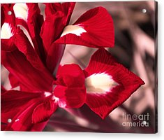Acrylic Print featuring the photograph Red Iris by AmaS Art