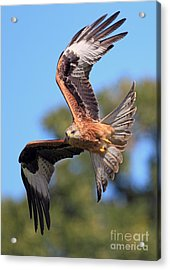 Red Kite On A Mission Acrylic Print by Clare Scott