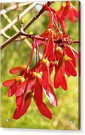 Red Maple Keys Acrylic Print by Debra Spinks