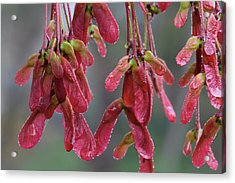 Red Maple Keys With Raindrops Acrylic Print