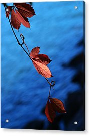 Red Maple Leaves Acrylic Print by Paul Ge