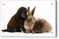 Red Merle Toy Poodle Pup, Guinea Pig Acrylic Print