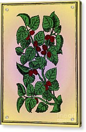 Red Mulberry Acrylic Print by Science Source