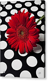 Red Mum With White Spots Acrylic Print by Garry Gay