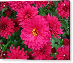 Red Mums Acrylic Print by Lucien Beauley