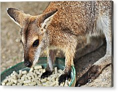 Red-necked Wallaby Acrylic Print by Kaye Menner