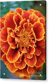 Red-orange Marigold Acrylic Print