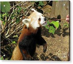 Red Panda Feeding Time Acrylic Print by Ausra Huntington nee Paulauskaite