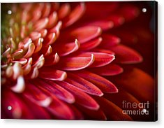 Red Petals Abstract 1 Acrylic Print
