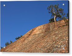 Red Pine Tree Acrylic Print by Ted Kinsman