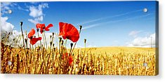 Red Poppies In Golden Wheat Field Acrylic Print by Catherine MacBride