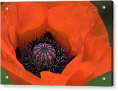 Red Poppy Acrylic Print by Carolyn Dalessandro
