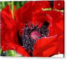 Red Poppy Close Up Acrylic Print by Bruce Bley