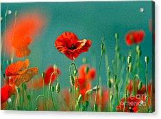 Red Poppy Flowers 06 Acrylic Print