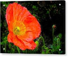Red Poppy Acrylic Print by Natalya Shvetsky