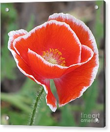 Acrylic Print featuring the photograph Red Poppy With White Rim by Michele Penner