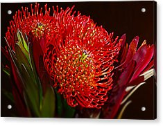 Red Protea Flower Acrylic Print by Michelle Armstrong