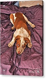 Red Puppy Acrylic Print by Phil Capadouca