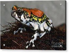 Red Rain Frog Acrylic Print by Dante Fenolio