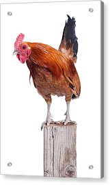 Red Rooster On Fence Post Isolated White Acrylic Print by Cindy Singleton