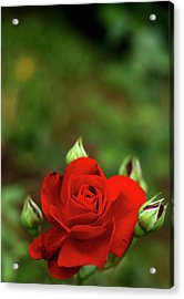 Red Rose Acrylic Print by Annfrau