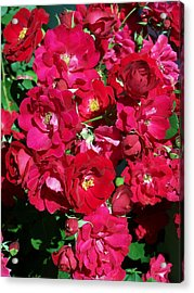 Red Rose Bush Acrylic Print