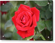 Acrylic Print featuring the photograph Red Rose by Donna  Smith