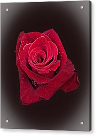 Red Rose II Acrylic Print by Jim Ziemer