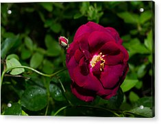Red Rose In The Wild Acrylic Print