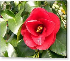 Red Rose Knock Out Acrylic Print by Sandi OReilly