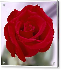 Red Rose Acrylic Print by Mike McGlothlen