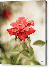 Red Rose Acrylic Print by Natalia Ganelin