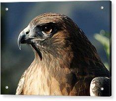 Red Shoulder Hawk Acrylic Print