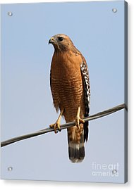 Red-shouldered Hawk . 7d10246 Acrylic Print by Wingsdomain Art and Photography