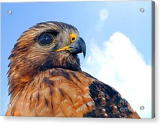 Acrylic Print featuring the photograph Red Shouldered Hawk Portrait by Dan Friend