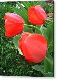 Red Spring Tulips Acrylic Print